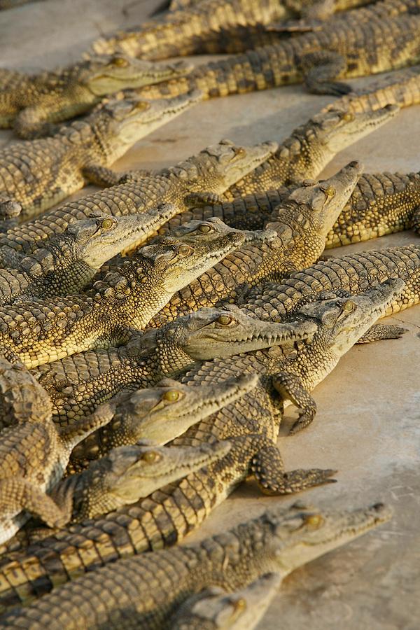 crocodiles du nil dans un elevage pres d'Arba Minch