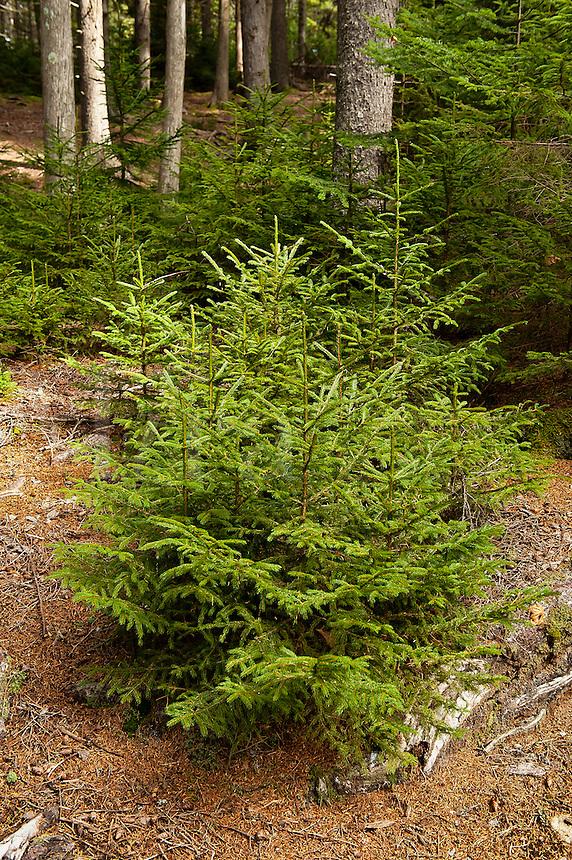 Seedling conifer trees, Pretty Marsh, Acadia NP, Maine, USA