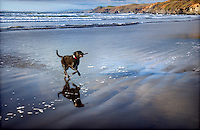 Dog fetching a stick at the beach.