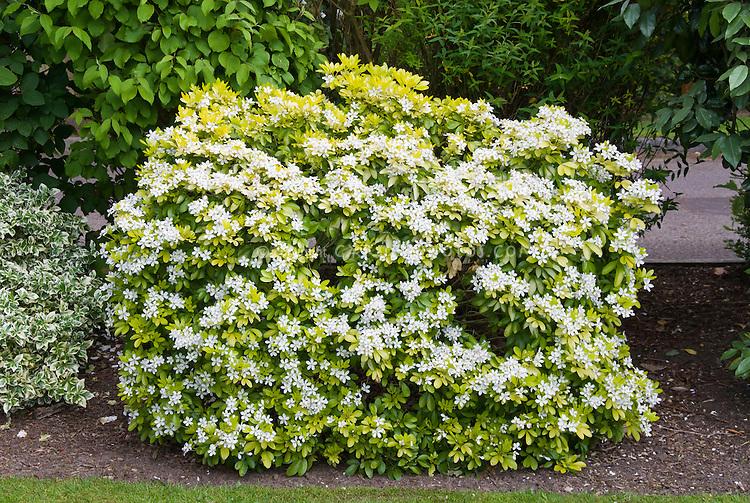 Spring flowering shrub Choisya ternata Sundance, yellow foliage with white blooms showing entire plant habit as hedge