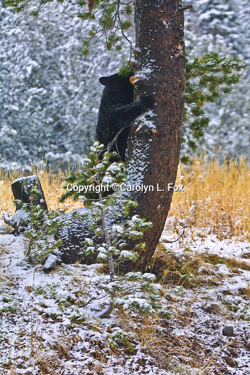 A black bear cub starts to climb a White Pine bark tree in Yellowstone National Park in Wyoming.  This is an important food source for bears.