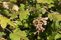 Berg-Ahorn, Bergahorn, Berg - Ahorn, Früchte im Herbst, Acer pseudoplatanus, Sycamore, Erable sycomore
