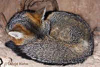 1118-0801  Gray Fox in Desert Underground Resting in Den, Urocyon cinereoargenteus © David Kuhn/Dwight Kuhn Photography