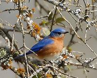 Eastern Bluebird, Burnet County, Texas