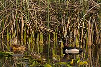 Ring-necked Duck (Aythya collaris) pair.  Klamath Marsh National Wildlife Refuge, Oregon.