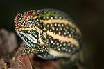 Male Montane Jewel Chameleon (Furcifer campani) in breeding colouration. From central highland regions, Madagascar.