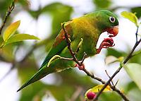 Orange-chinned parakeet eating fruit