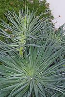 Echium wildpretii AGM