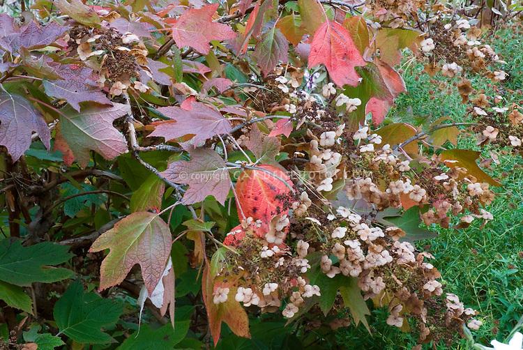 Hydrangea quercifolia in autumn color flowers | Oakleaf Hydrangea