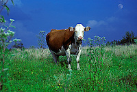 Cow standing in sun with moon