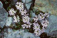 Rundblättriges Täschelkraut, Rundblättriges Hellerkraut, Noccaea rotundifolia, Thlaspi rotundifolium