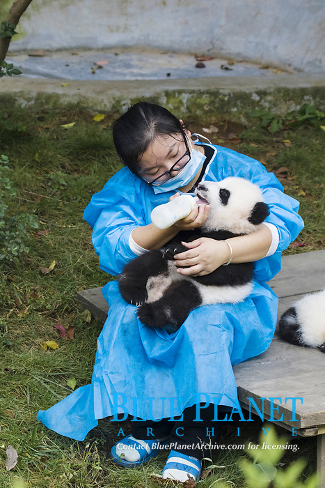 Giant Panda (Ailuropoda melanoleuca) baby, being bottle fed by keeper, Chengdu Research Base of Giant Panda Breeding, Chengdu, Sichuan Province, China, Asia