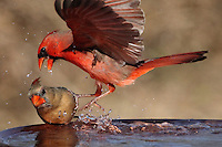 Male Cardinal exhibiting some aggressive behavior towards the female. Used by Microsoft USA.