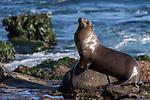 La Jolla, California; a female California sea lion resting on the rocky shoreline along the Pacific Ocean, in early morning sunlight