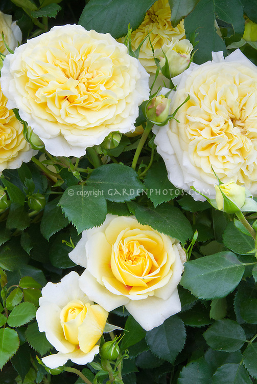 Rosa 'The Sun and The Heart' aka 'Hartyre' yellow rose