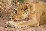 African Lion (Panthera leo) female resting, Greater Makalali Private Game Reserve, South Africa