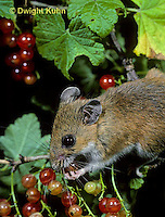 MU50-090z  White-Footed Mouse - eating berries -  Peromyscus leucopus