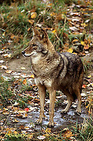 MA27-027z  Eastern Coyote - Canis latrans