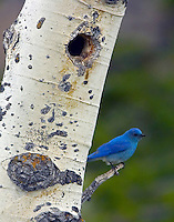This Bluebird was actively feeding young nestled in the hole of the aspen tree.