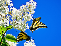 Tiger swallow-tail butterflies sipping lilac nectar.