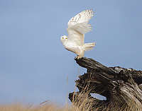 A Snowy Owl prepares to launch into flight from a piece of driftwood just after sunrise.