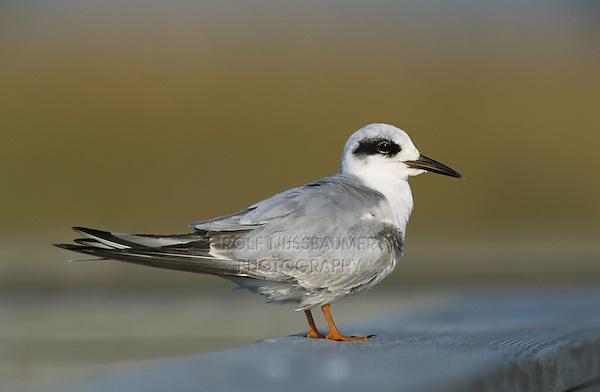 Forster's Tern, Sterna forsteri, adult resting on Boardwalk winter plumage, Port Aransas, Texas, USA, March 2003