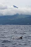 Risso dolphin at the bottom of Mount Pico (2351 m). Pico island