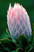 Protea flower, Kula