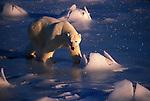 A polar bear walks across the ice in Canada.