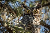 Great Horned Owl, Chugiak, Alaska.