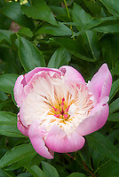 Paeonia Bowl of Beauty peony pink and cream, herbaceous peony in bloom