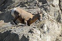 Big horn sheep high in the cliffs in Jasper National Park.