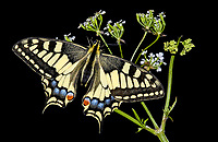 Common Swallowtail (Papilio machaon), adult, Britain, Europe