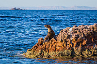 California sea lion, Zalophus californianus, with fishing line around its neck at Los Islotes, Baja California, Mexico, Pacific Ocean