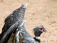 0214-1202  Southern Screamer (Crested Screamer), Details of Bony Spurs on Wings used for Protection and Rival Screamers, Chauna torquata  © David Kuhn/Dwight Kuhn Photography