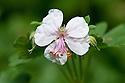 Geranium x cantabrigiense 'Biokovo', late April. The name comes from the mountains in Yugoslavia where the plant originated.