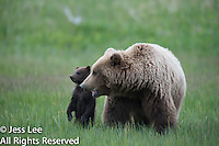 Alaska Brown Bear, Coastal Grizzly Cubs playing,grizzly, Grizzly Bear or brown bear alaska Alaska Brown bears also known as Costal Grizzlies or grizzly bears Grizzly Bear Photos, Alaska Brown Bear with cubs. Purchase grizzly bear fine art limited edition prints here Grizzly Bear Photo Bear Photos,