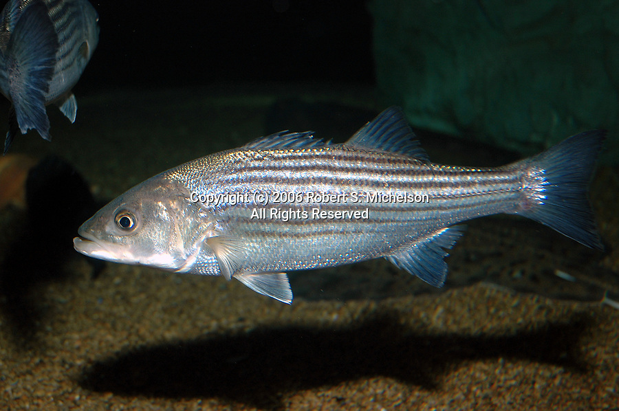 Striped Bass juvenile swimming facing left