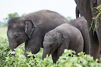 Young elephants in the Minneriya National Park, in North Central Sri Lanka, famed in Asia as a gathering place for wild Asian Elephants.