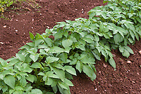 Potato 'Carlingford' root vegetable growing in mounds in soil garden