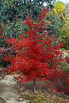 11255-CD Black Gum or Pepperidge Tree, Nyssa sylvatica, in red fall color at Mourning Cloak Ranch & Botanical Garden, Tehachapi, CA USA