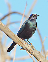 Adult male Brewer's blackbird