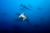 School of Scalloped Hammerhead sharks (Sphyrna lewini) at Wolf Island, Galapagos Islands, Ecuador, East Pacific Ocean
