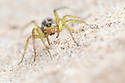 Wolf Spider (Pardosa sp.) on dune system at Ainsdale Nature Reserve, Merseyside, UK. May. Photographer: Alex Hyde