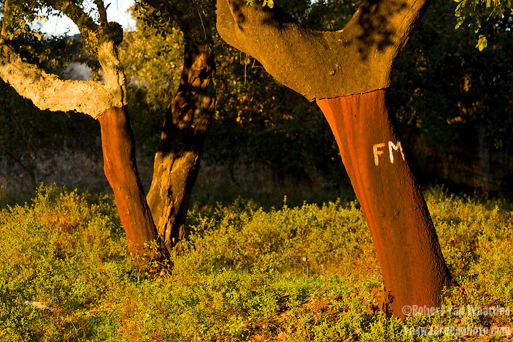 Cork tree grove in the Algarve region of southern Portugal. Painted on each trunk is the year that the cork was harvested. Cork is harvested every 9 years from a tree.