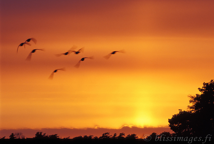 Birds fly at sunset in the Finnish archipelago