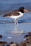 USA, Florida, Ft. Myer's Beach, American Oystercatcher