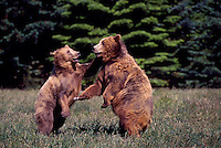 Kodiak Bears aka Alaskan Grizzly Bears and Alaska Brown Bears (Ursus arctos middendorffi) fighting - North American Wild Animals