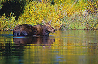 Cow Moose (Alces alces).  Western U.S., fall.