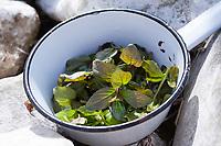 Wasserminze-Ernte, Ernte, Kräuterernte, Wasserminze, Wasser-Minze, Minze, Mentha aquatica, Horsemint, Water Mint, Menthe aquatique